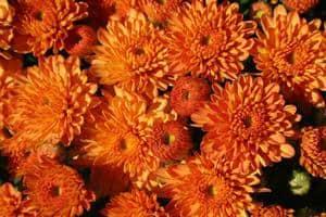 Chrysanthemum 'Orange Varieties'