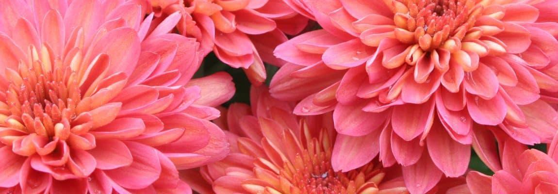 Chrysanthemum 'Pink & Coral Varieties'