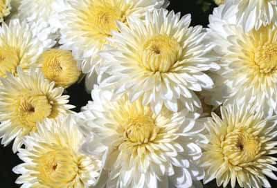 Chrysanthemum 'White Varieties'