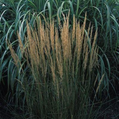 Feather Reed Grass (Calamagrostis acutiflora)