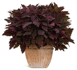 Coleus 'ColorBlaze' Series
