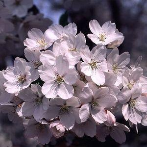 Cherry 'Yoshino'