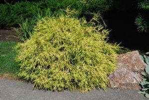 lemon cypress shrub garden design ideas
