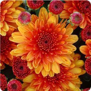 Chrysanthemum 'Bronze Varieties'