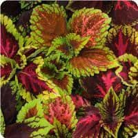 Coleus 'Kong Empire Mix'