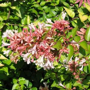 Abelia Canyon Creek Longfellows Garden Center