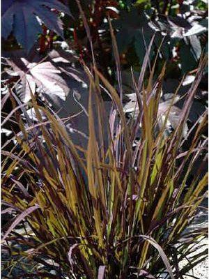 Rice, Ornamental (Oryza sativa 'Black Madras')