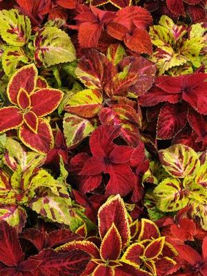 Coleus 'Wizard Select Mix'