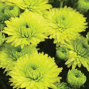 Chrysanthemum 'Green Varieties'