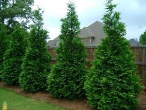 Green Giant The Largest Of Arborvitaes We Offer