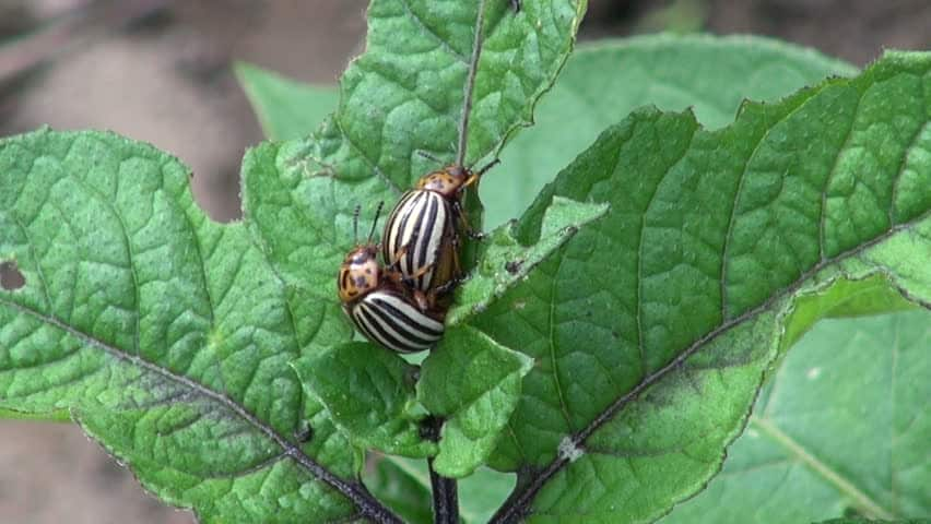 Flying Black Beetle Common Garden Pests: A...