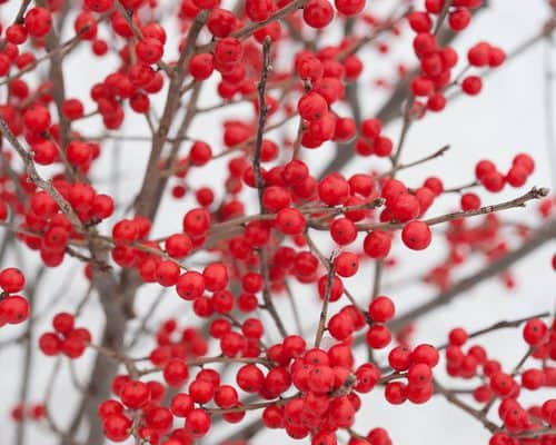 6 Steps to Growing Holly Berries