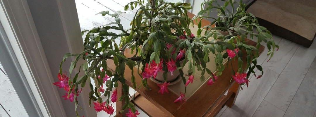 Heirloom Plants – A Look at Christmas Cactus