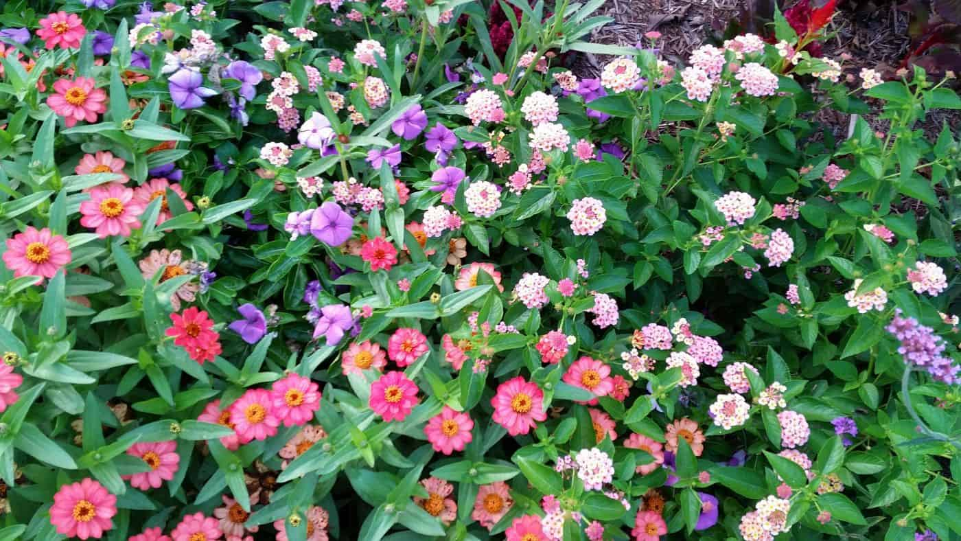 10 sun loving flowers that take the heat longfellows garden center profusion zinnias are probably the best annual for planting in flower beds heat tolerant and profuse in their blooms this tough plant has performed izmirmasajfo Gallery