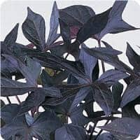 Sweet Potato Vine 'Blackie'